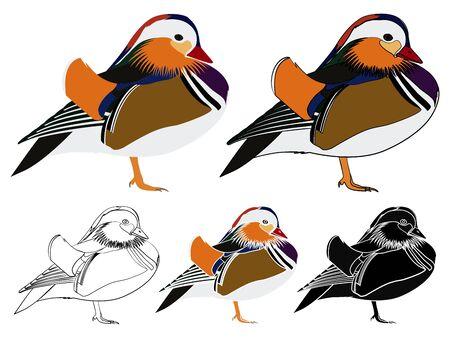 Mandarin duck in front view
