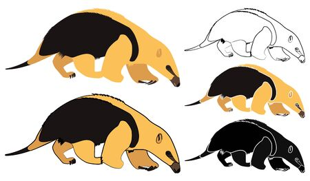 Anteater mirim in front view