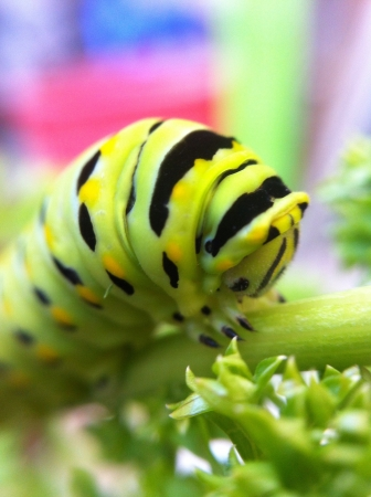 Caterpillar op peterselie