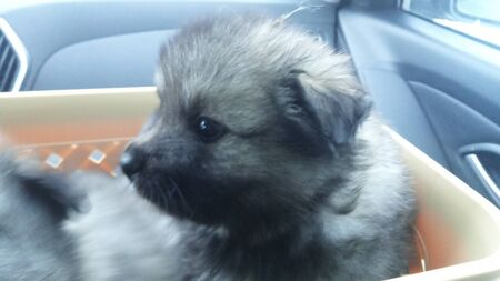 Keeshond little puppy sitting in the busket