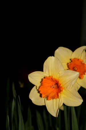 florescence: Narcissus at night Stock Photo