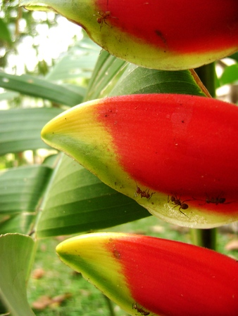 heliconia: Heliconia with ants in the mexican jungle