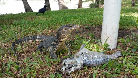 sufferer: Monitor lizard or Water lizard and prey at SuanLum park