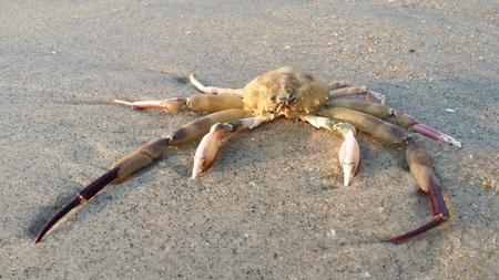 immobile: A Crab carcass at Huahin beach