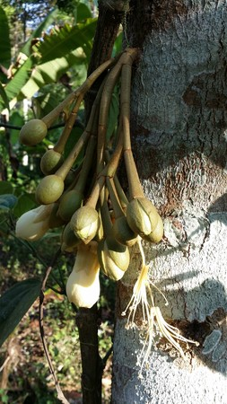 merah: Durian flower at Choomporn province in Thailand
