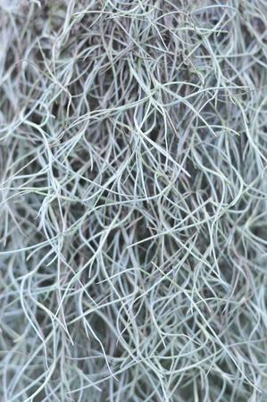 Closeup of Spanish Moss, Grandpas Beard (Tillandsia usneoides) 版權商用圖片