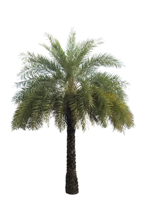 Washington Palm Tree isolated on white background with a high resolution suitable for graphic.