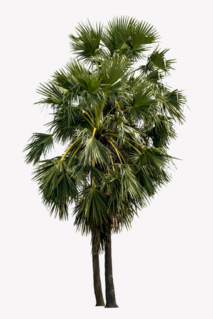 Washington Palm Tree isolated on white background with a high resolution suitable for graphic. Фото со стока - 109321939