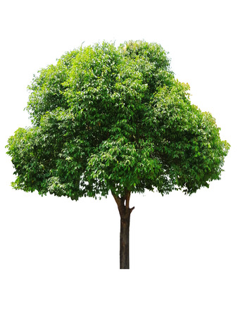 Beautiful fresh green deciduous tree isolated on pure white background for graphic