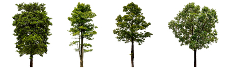 Beautiful fresh green deciduous tree isolated on pure white background for graphic, The collection of trees. with clipping path Banco de Imagens