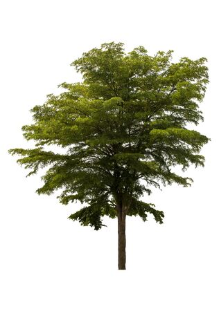 Beautiful fresh green deciduous tree isolated on pure white background for graphic. with clipping path