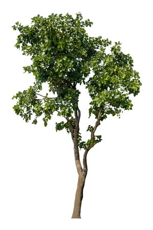 Beautiful fresh green deciduous tree isolated on pure white background for graphic.