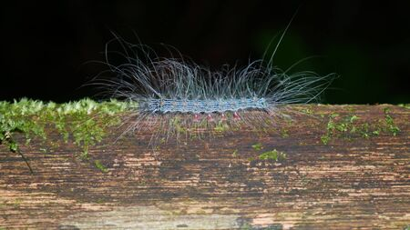 Caterpillar with poisonous hairs in the tropical rain forest in Gunung Mulu National Park, Borneo