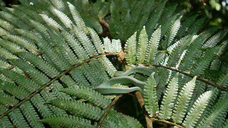 green viper hidden between the leaves of a bush Gunung Mulu Nationalpark, Borneo Imagens