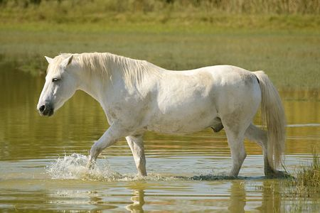 White horse crosses a pond photo