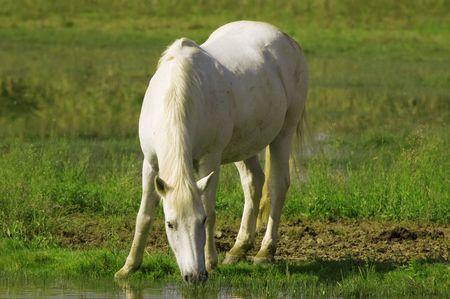 caballo bebe: Caballo blanco  Foto de archivo