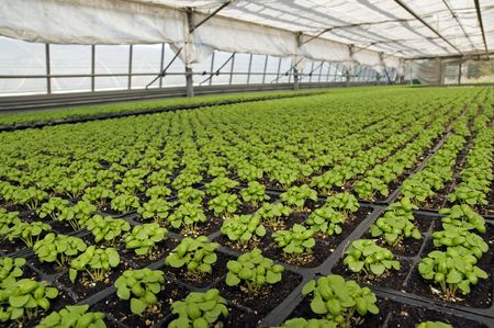 Small basil plants in a greenhouse Stock Photo