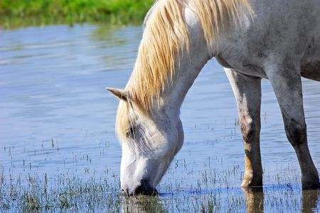 Camargue horse drinking water in a pond