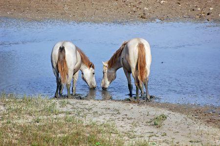 caballo bebe: Camargue caballos de agua potable de un peque�o r�o