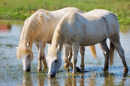 caballo bebe: Par de agua potable de caballos en un estanque