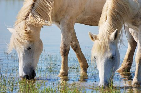 caballo bebe: Detalle de dos caballos de agua potable