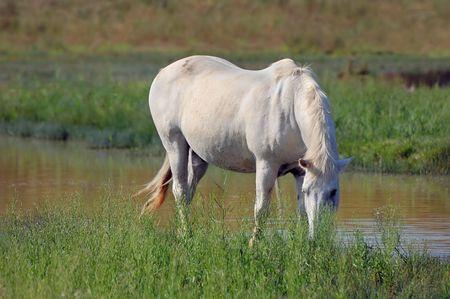 White horse eating grass photo