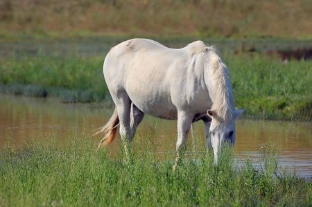 White horse eating grass photo