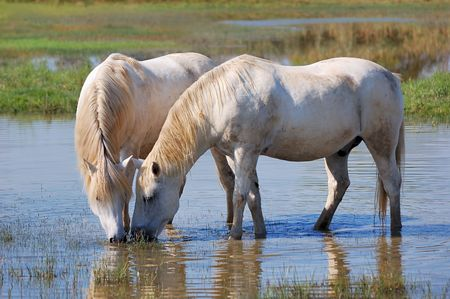 Couple of horses drinking water in a pond photo