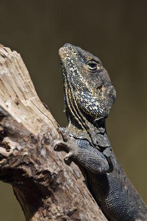 Tropical lizard on a bench Stock Photo