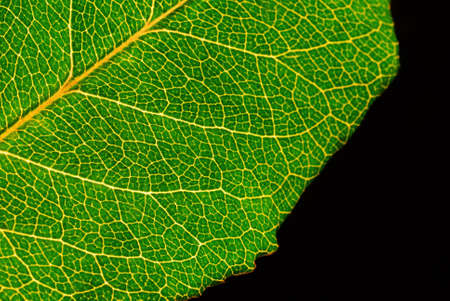 veining: Green leaf with detail veining Stock Photo