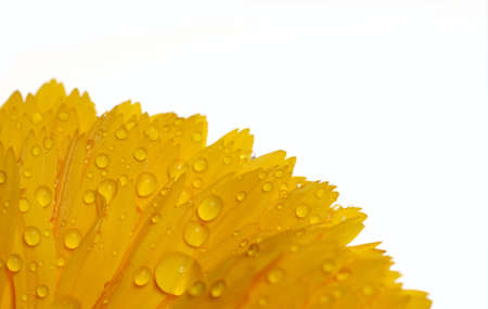Yellow calundula with drops Stock Photo - 4216919