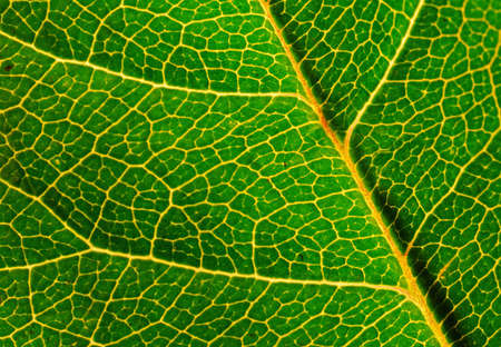 Close up of green leaf showing detailed veining. Stock Photo - 4216955