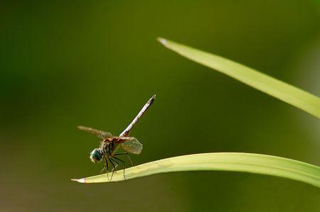 Balanced dragonfly