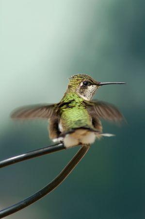 Ruby Throated Hummingbird Stock fotó