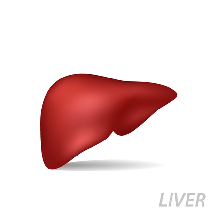 Realistic human liver. Medicine anatomy, organ human, health and biology isolated on white background, vector medical illustration Vector Illustration