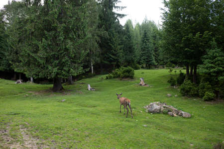Little deer in the reserve against the background of a green forest 免版税图像