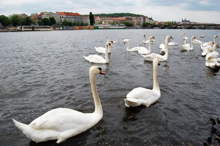 czech culture: Swans on Vltava