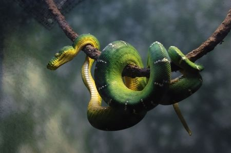 viper: Green snake hangs on branch