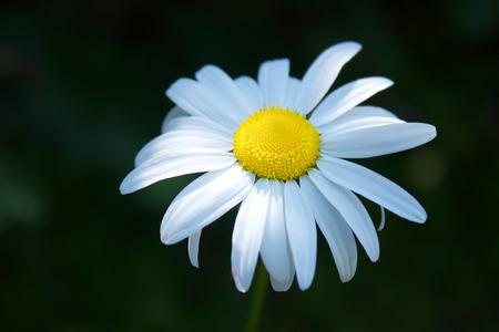 oxeye: Oxeye Daisy Chrysanthemum leucanthemum Stock Photo
