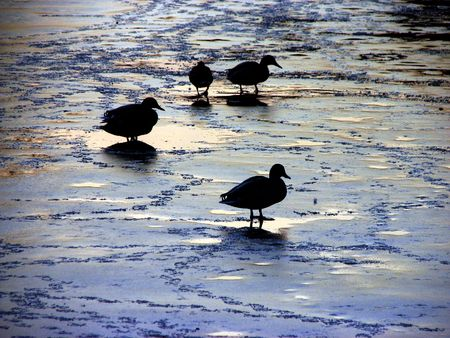 Ducks on a frozen lake in a park Stock Photo