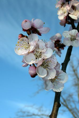 white flowers of a sweet cherry tree in a beautiful spring Stock Photo - 2705475