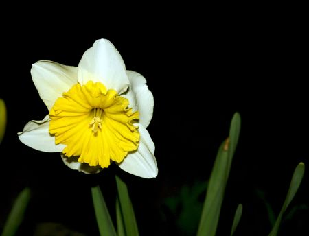 a beautiful flower in the night, white with yellow Stock Photo - 2724689
