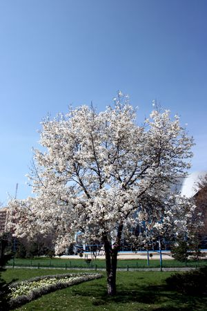 a beautiful tree with white flowers in a sunny day Stock Photo - 2808837