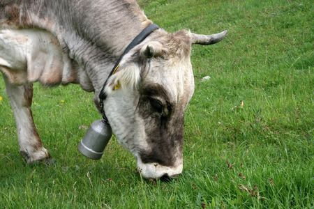 beautiful cow: a beautiful cow grazing with a bell