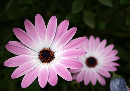 two beautiful pink flowers Stock Photo - 3074146