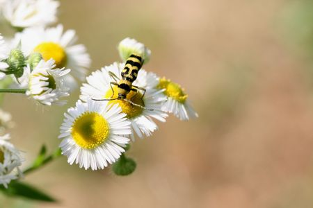 a little insect on a white / yellow flower Stock Photo - 3247109
