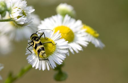 a little insect on a white / yellow flower Stock Photo - 3247106