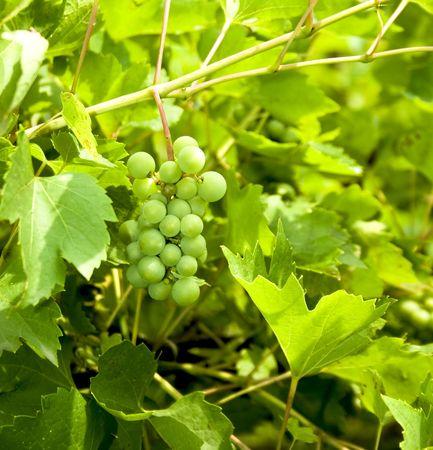green grapes in a garden Stock Photo - 3389038