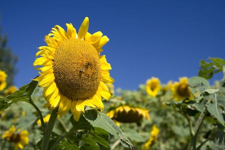 sunflower on a field in a rural place Stock Photo - 3389039