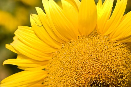 a beautiful detail of a sunflower on a field Stock Photo - 3389041